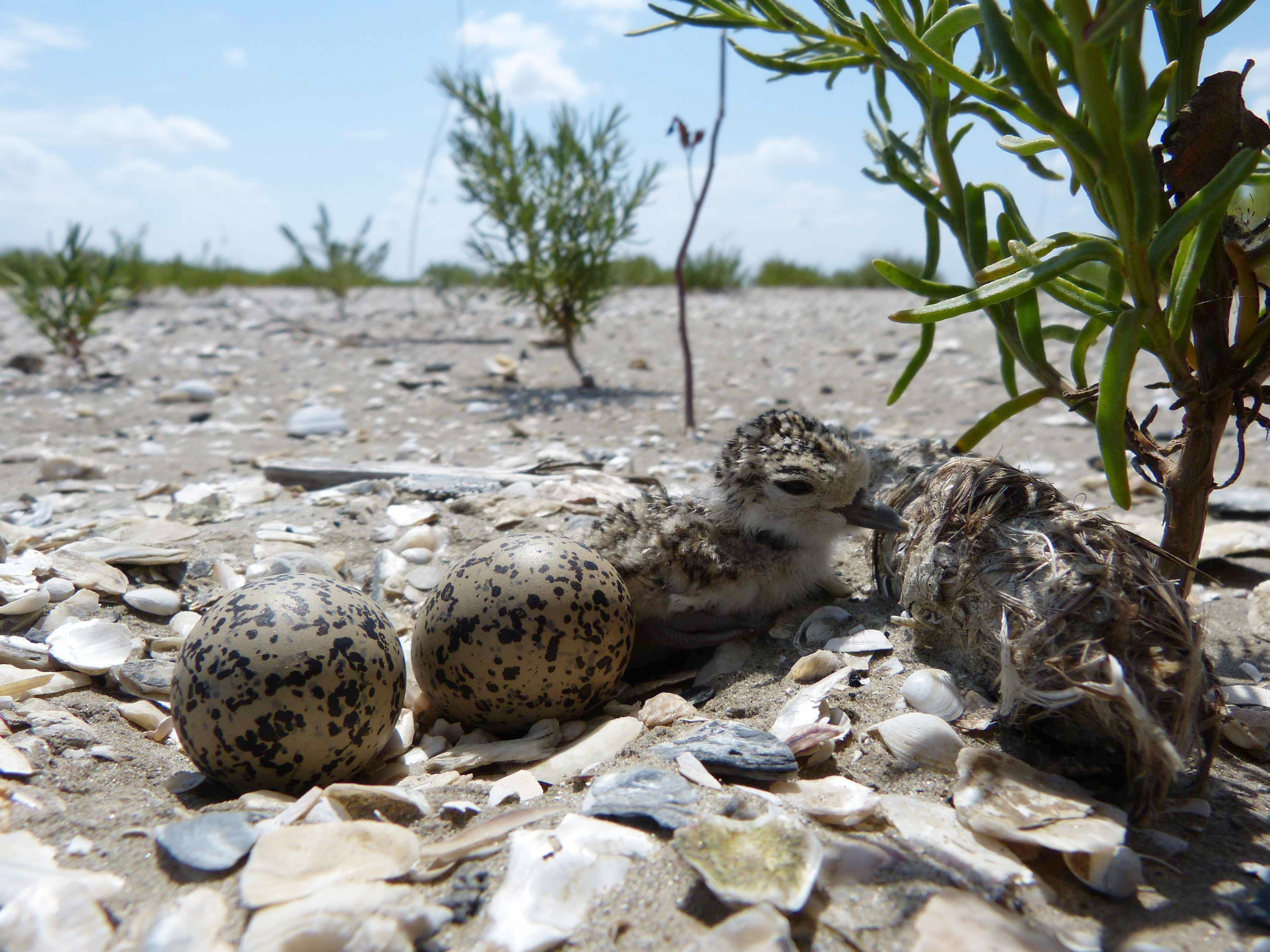 Wilson's Plover nest with a newly hatched chick! Aww! Photo credit Delaina LeBlanc.