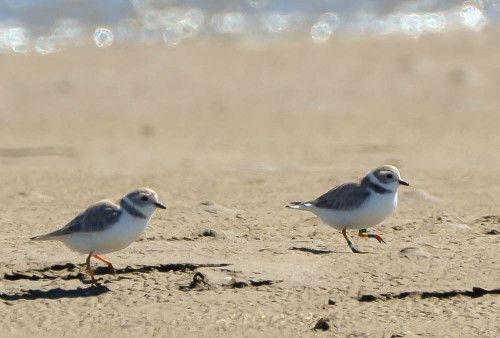 Piping Plovers. Photo Credit: Natalie Waters